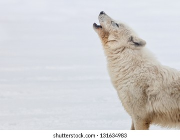 Profile of an arctic wolf howling.  Winter scene