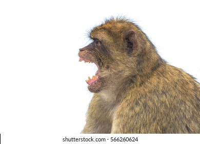 Profile of a Barbary macaque monkey with open mouth isolated against white