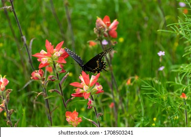 Profile of a beautiful Black Swallowtail Butterfly with its wings mostly open feeding on the nectar of a bright orange Indian Paintbrush flower in a grassy field.