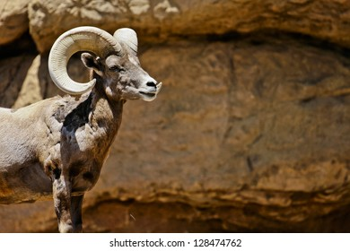 Profile of a Big Horn Sheep on Rocky Backdrop
