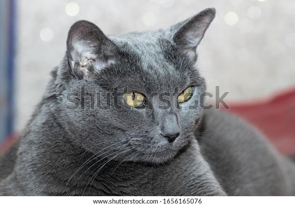 profile-big-mother-gray-cat-600w-1656165