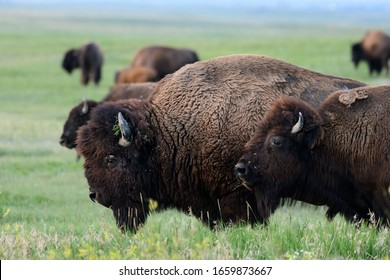 Profile of Bison Moving Across Field with herd
