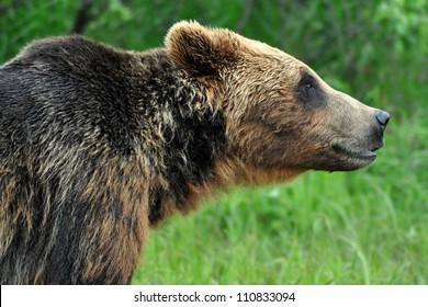 Profile of Brown Bear in Alaska