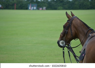 Profile of a brown polo pony with bridle against a green background