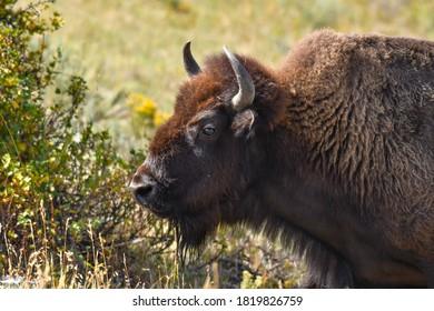 Profile of a Buffalo at Yellowstone National Park.