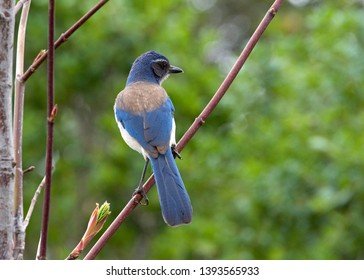 Profile of a California Scrub Jay facing away from viewer sitting in a tree with green trees in background. The California scrub jay is nonmigratory and can be found in urban areasAnimalia