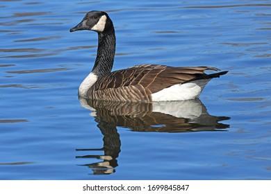Profile Of A Canada Goose