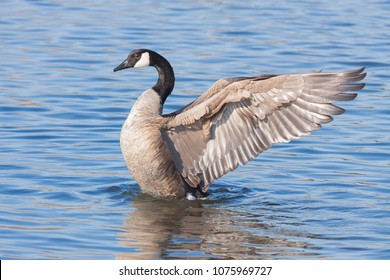 A profile of a canada goose as it rises out of a blue lake.  At it rises, the  goose spreads its wings backwards as if to imitate an angel floating to heaven.