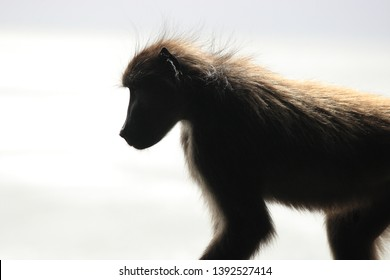 profile of chacma baboon or Cape baboon, Papio ursinus, Cape Point, South Africa
