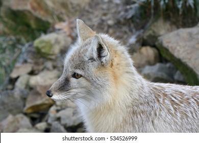 Profile of Corsac Fox (Vulpes corsac) in the winter coat
