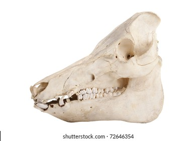 Profile of cutout of boar skull with jagged teeth