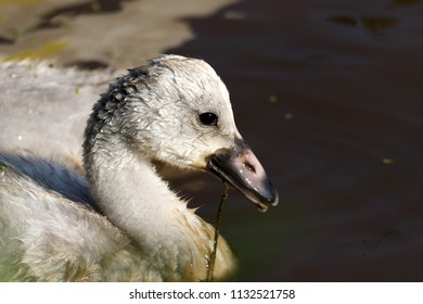 Profile of a Cygnet