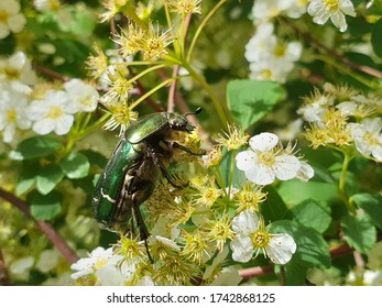Profile detail of European rose chafer (Cetonia aurata) or green rose chafer insect feeding on plant in garden, pollinating vegetation, in summer