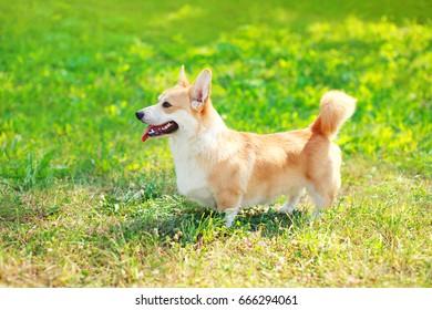 Profile dog Welsh Corgi Pembroke walking on the grass at summer day