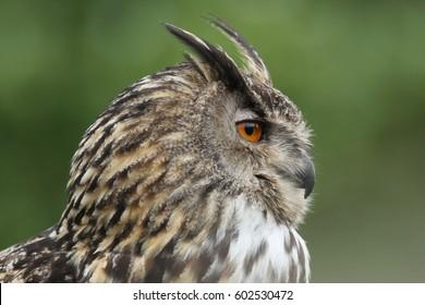 Profile of an Eagle Owl