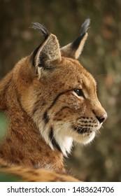 Profile of Eurasian lynx (Lynx lynx). Closeup of bobcat head. Bavarian forest, Germany.