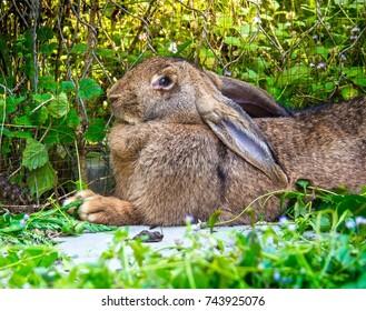 Profile Fawn Flemish Giant Rabbit In Garden