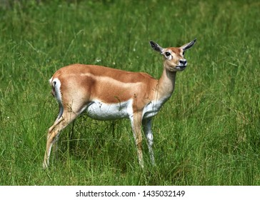 Profile of female blackbuck (Antilope cervicapra), also known as the Indian antelope