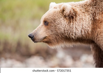 Profile of a female brown bear looking left