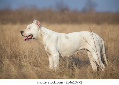 Profile of female Dogo Argentino