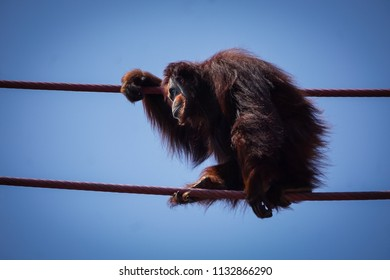 profile of female orangutan