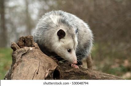 Cartoon Mouse, Virginia Opossum, Translation, Animal, Large American  Opossums, Common Opossum, Rat, Dormouse transparent background PNG clipart    HiClipart