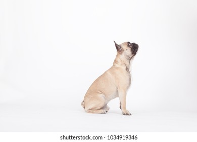 profile of a french bulldog