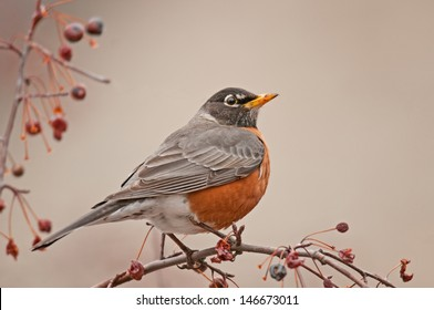 Profile of full-breasted American robin, turdus migratorius, perched on branch of ash tree with red berries