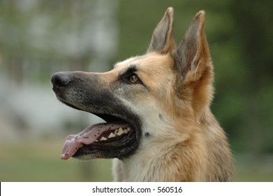 Profile of a German Shepard with his mouth open