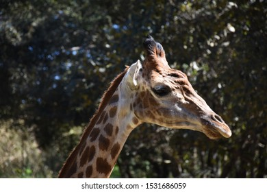Profile of a giraffe in the wildlife with space for text