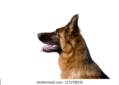 Profile of Gorgeous German Shepherd Dog Isolated on a White
