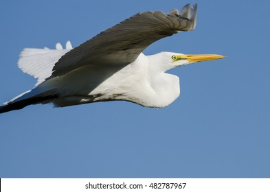 Profile of Great Egret Flying in a Blue Sky