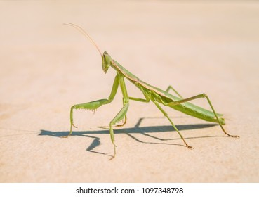 Profile of a green praying mantis insect on stone ground in the sunshine with a shadow in Spain