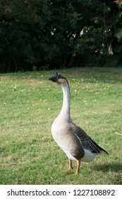A profile of a grey goose standing in a grass in a French countryside farm.