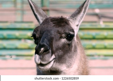 Profile. Guanaco in the Feldman Ecopark. Mammalian kind of lamas of the camelid family.