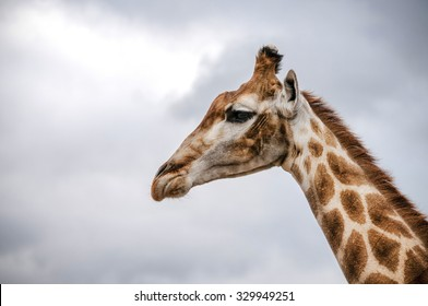 Profile of  the head  of African giraffe.