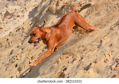 Profile head portrait of a yawning purebred Rhodesian Ridgeback dog puppy.
