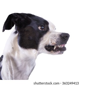 Profile head shot of mad dog growling and showing teeth isolated on white background