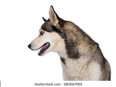 Profile head shot of pretty young adult Husky dog, sitting side ways. Looking straight ahead with light blue eyes. Isolated on a white background.