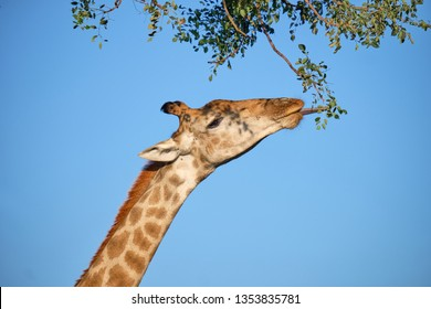 Profile head shot of South African Giraffe against blue sky reaching up to eat fresh greens leaves. Tongue is sticking out
