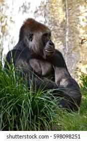 profile of a huge gorilla