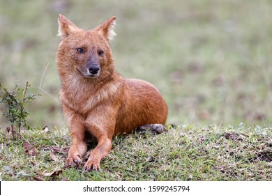 Profile Image of Indian wild Dog
