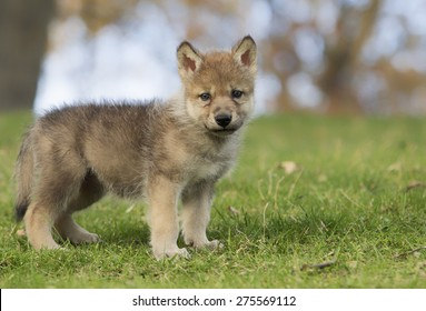 Profile image of a young, grey wolf pup, standing on a hillside.