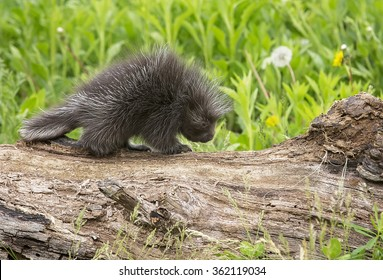 Profile image of a young, North American porcupine walking on a log.  Springtime in Minnesota.