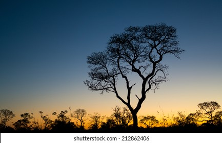Profile of ipe tree at sunset