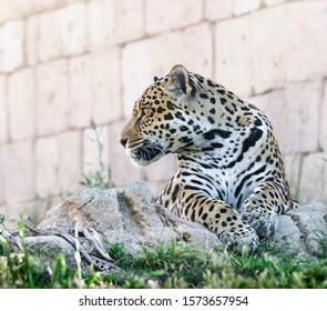 profile jaguar portrait lying down