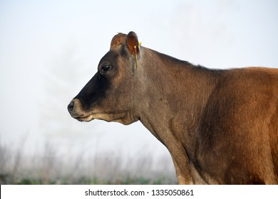 Profile of a jersey cow in fog on a West Coast dairy farm, New Zealand