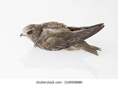 profile of juvenile black martin with foldet wings sitting on a white glass top