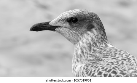 Profile of Juvenile Seagull BW, Headshot of young Seabird in black and white tone shallow depth of field nature photography