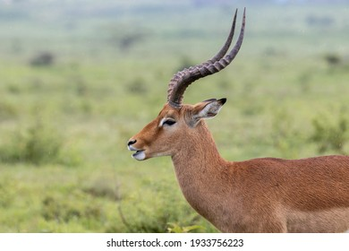 profile of a Kobus Kob that is attentive to any threat in the middle of the savannah in the Maasai Mara